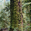 Moss on Douglas Fir in Cathedral Grove