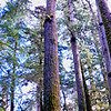 800 year old Douglas Fir in Cathedral Grove