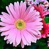 Butchart Gardens- Spring Prelude