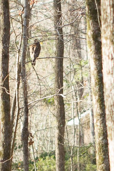 Hawk Visitor
