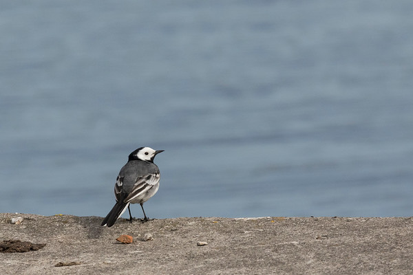 witte kwikstaart, pied wagtail