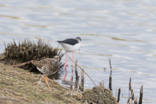 steltkluut, black-winged stilt kemphaan, ruff