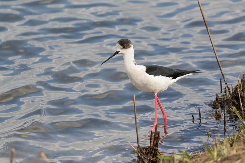 steltkluut, black-winged stilt