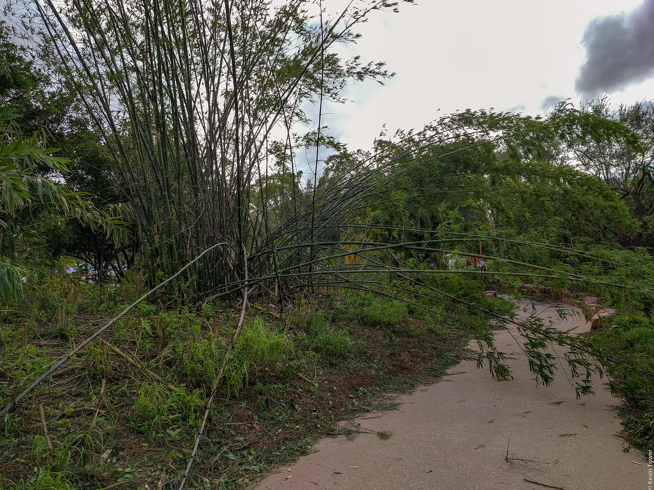 Downed bamboo