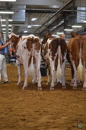 WI State Red & White Show 2017-Heifers