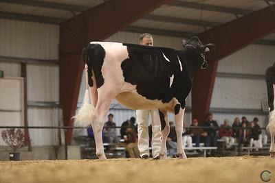 Western Spring Holstein Hfrs 2017