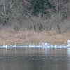 Trumpeter Swans, south of Snohomish, WA.
