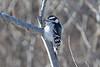 Toronto - Downy Woodpecker