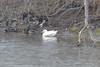 Toronto - Humber Goose