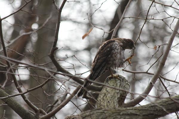 Coopers Hawk (?)