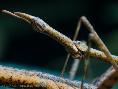 The head of a male horsehead grasshopper (Proscopiidae) during mating