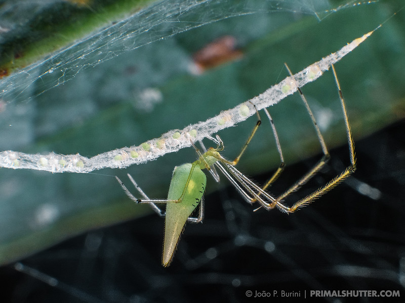 Synotaxus spider showing parental care tending to the eggsac with spiderlings inside