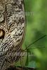 Costa Rica : Caligo es un género de lepidópteros ditrisios de la familia Nymphalidae conocidos vulgarmente como mariposas búho  / The owl butterflies, the genus Caligo , are known for their huge eyespots, which resemble owls' eyes . They are found in the rainforests and secondary forests of Mexico, Central , and South America / Costa Rica : Als Bananenfalter werden die Schmetterlinge der Gattung Caligo aus der Familie der Edelfalter ( Nymphalidae ) bezeichnet © Andrea Díaz-Perezache/LATINPHOTO.org
