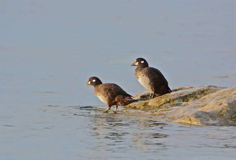Harlequin Ducks (females)