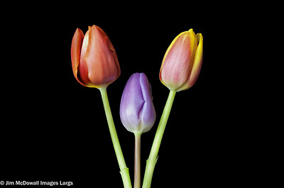 Three Tulip Heads in a Row Almost hearty shaped.