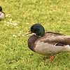 Two Ducks in a Field.