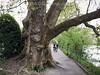 Baum wächst in den Aaresteg in Aarau © Patrick Lüthy/IMAGOpress.com