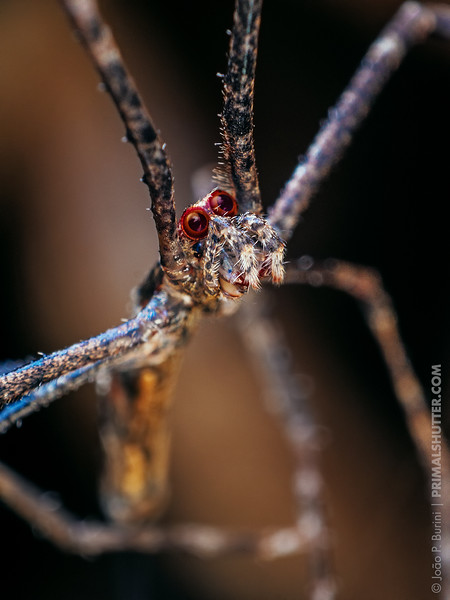 Net casting spider with red eyes (Deinopis)