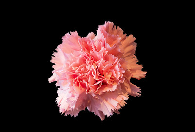 Single Pink Carnation Flower on black background