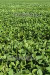 Argentina : colon intersecciones rn8 , agricultura , soja / Argentinien : Sojafeld - Landwirtschaft - Sojaanbau � Fernando Calzada/LATINPHOTO.org