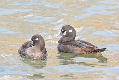 Harlequin Ducks - Portsmouth harbour, Kingston