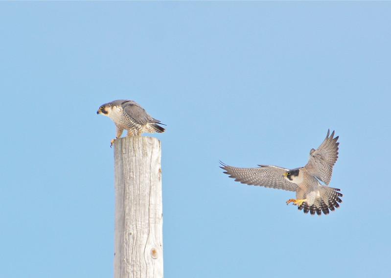 Peregrine Falcon pair