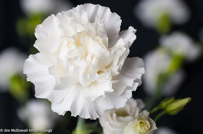 Single White Carnation Head