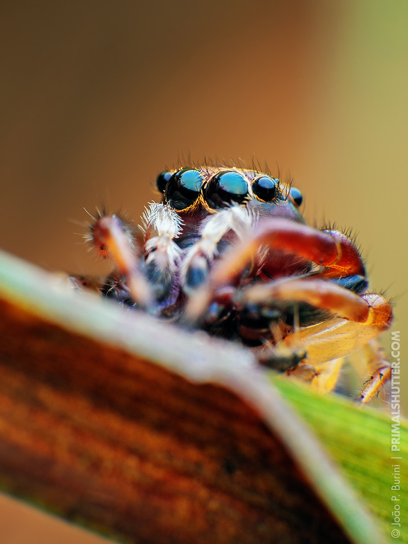 Close-up of a big eyed jumping spider (Salticidae)
