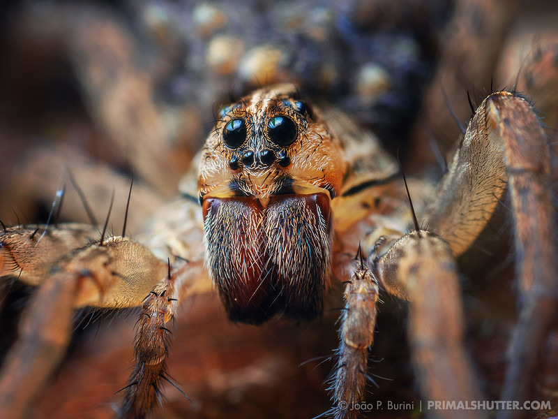 Portrait of a small wolf spider carrying spiderlings