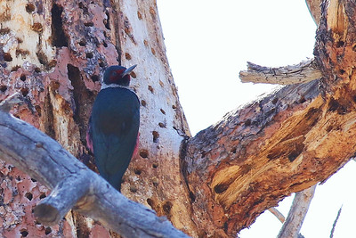 Lewis's Woodpecker @ -Flagstaff-7635-8805 Old Walnut Canyon Road  - Mar 2017