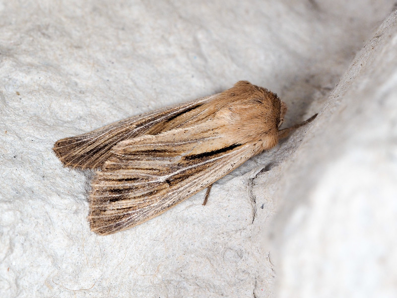 houlder-striped Wainscot