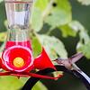 Calliope Hummingbird @ Delaware, OH. Nov 2017