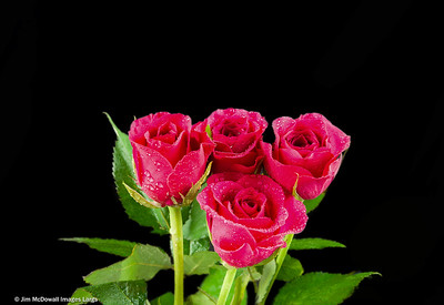 Four Pink Roses in a Bunch