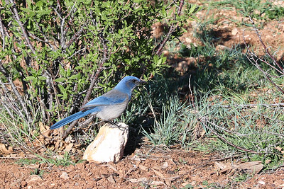 Woodhouse's Scrub-Jay @ Grand Canyon NP--Visitor Center - Mar 2017
