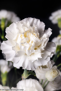 White Carnations Portrade