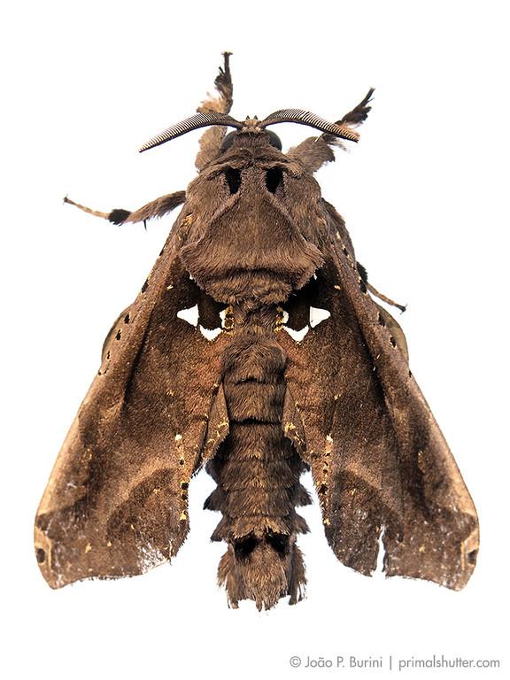 Langsdorfia franckii, a cossid moth