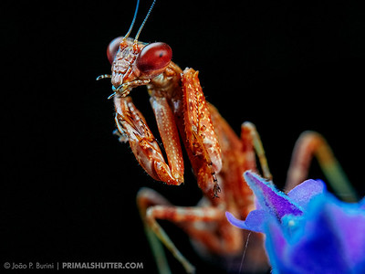 Praying mantis with red eyes, Acontista species