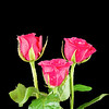 Three Pink Rose Heads Isolated on Black  Background.