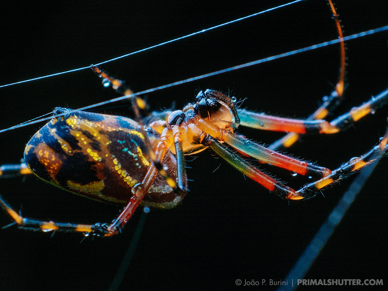 Colorful underside of a Leucauge spider