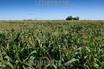 Argentina : gral arenales ruta 50 tramo 2 , agricultura , maiz / Argentinien : Maisfeld - Landwirtschaft � Fernando Calzada/LATINPHOTO.org