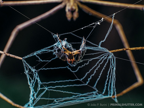 Fly caught on a net casting spider web (Deinopis sp)