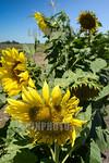 Argentina : gral arenales ruta 50 tramo 2 , agricultura , campo de girasol / Argentinien : Sonnenblumen - Sonnenblumenfeld � Fernando Calzada/LATINPHOTO.org