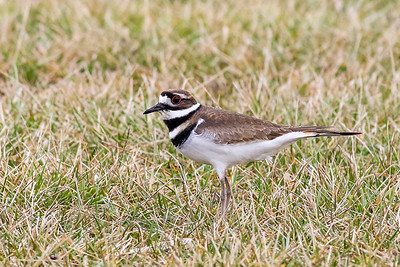 Killdeer @ the Wilds - Jan 2017