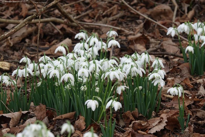 Nature Realm's Snowdrops. Sony RX10 111