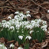 Nature Realm's Snowdrops. Sony RX10 111