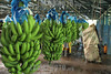Costa Rica : Producción de banano en fincas de Matina en Limón , el principal productor de banano de Costa Rica - distribución de plátanos 24/04/2013 / Musa × paradisiaca is the accepted name for the hybrid between Musa acuminata and Musa balbisiana / Costa Rica : Verarbeitung von Bananen in Limón - Bananenexporteur - Fruchtstand an der Staude © Carlos León/LATINPHOTO.org