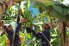 Costa Rica : Producción de banano en fincas de Matina en Limón , el principal productor de banano de Costa Rica - distribución de plátanos 24/04/2013 / Musa × paradisiaca is the accepted name for the hybrid between Musa acuminata and Musa balbisiana / Costa Rica : Verarbeitung von Bananen in Limón - Bananenexporteur © Carlos León/LATINPHOTO.org