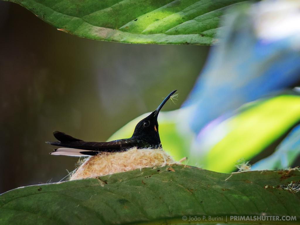 Black jacobin (Florisuga fusca) nesting