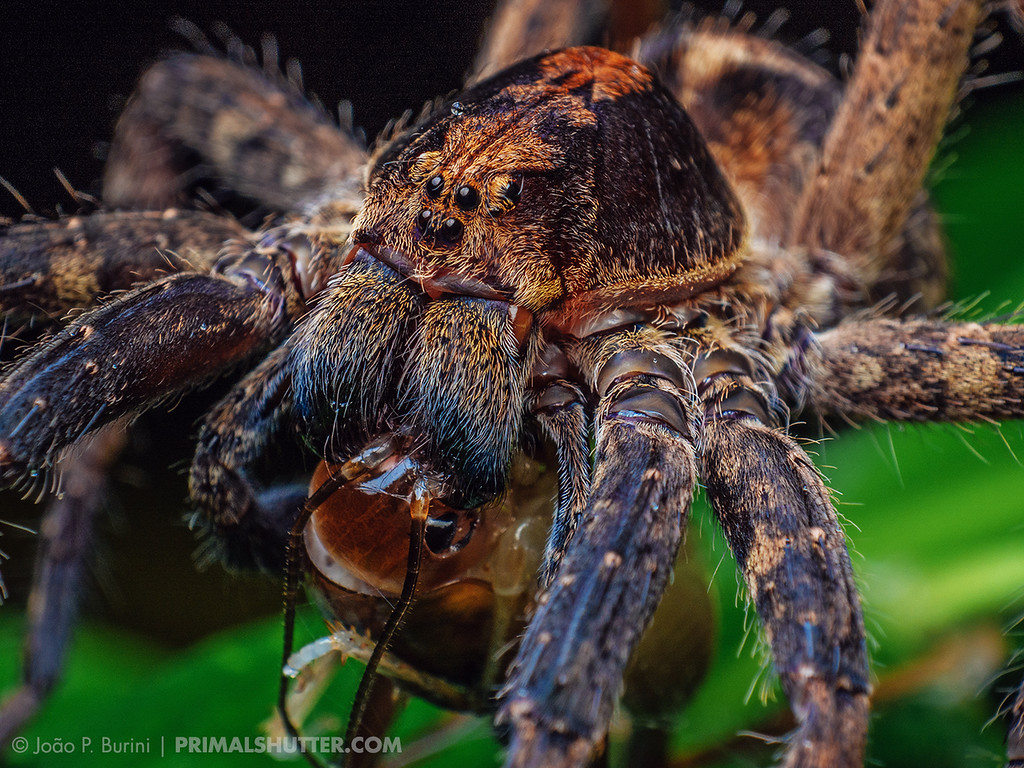 Wandering spider (Ctenus) preying on a camel cricket