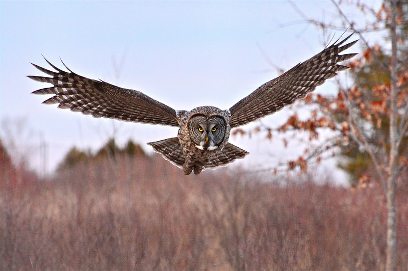 Great Gray Owl in flight (Kingston)